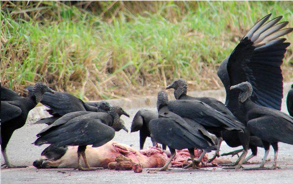 Resultado de imagem para fotos e imagens de urubus comendo carniça